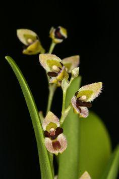 Pleurothallis segoviensis - Flickr - Photo Sharing!