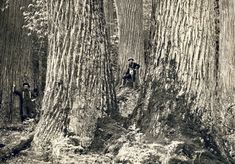 American chestnuts in the Great Smokey Mountains of North Carolina in 1910.