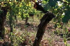 Tree of wine...