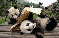 Giant Panda Cubs Playing Photograph