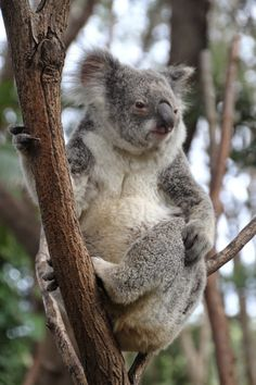 As koalas suffer in the Australian bushfires, misinformation has spread about their demise. Beautiful Creatures, Animals Beautiful, Beautiful People, Australia Animals, Wildlife Conservation, Wombat, Cat Gif, Cute Baby Animals, Zoo Animals