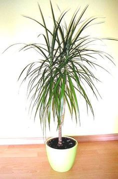 Idea Of Making Plant Pots At Home // Flower Pots From Cement Marbles // Home Decoration Ideas – Top Soop Dracena Marginata, Tropical House Plants, Indoor Trees, Floor Plants, House Plant Care, Bamboo Plants, Growing Plants, Horticulture, Gardening