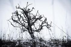The tree of sorrow stands alone. Weathered, tangled and mesmerized. Trying to be pulled down but still standing tall. Fighting for life and direction, branching out to find its way. Never giving up on the fight, this tree's sorrow turns to hope. Photography - Digital Art. Tree Of Sorrow - Copyright 2015 Miss Dawn Mercer, Canadian Artist