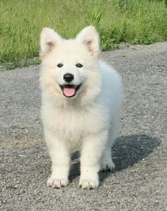 Berger Blanc Suisse- White Swiss Shepherd
