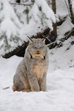 Baby Animals, Funny Animals, Cute Animals, Big Cats, Cool Cats, Beautiful Creatures, Animals Beautiful, Canada Lynx, Gato Grande