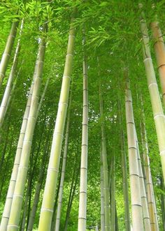 . Bamboo Tree, Bamboo Fence, Tropical Landscaping, Tropical Garden, Garden Trees, Trees To Plant, Bamboo Landscape, Aesthetic Objects, Picture Tree