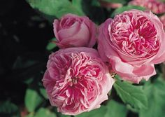 the charm of old french roses - MY FRENCH COUNTRY HOME