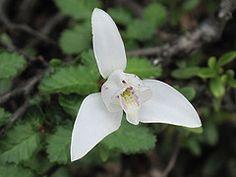 Small Orchid - Bahia Ensenada - Tierra del Fuego (Myriam Bardino) Tags: patagonia argentina tierradelfuego orchids terradelfuego bahiaensenada miradorlapataiaydelturbal