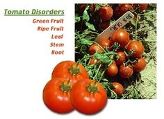 Online Tool For Diagnosing Tomato Problems