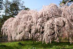 京都御所「近衛邸の糸桜」  #京都 #春 #kyoto #spring #japan