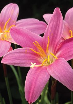 """Zephyranthes grandiflora, PINK RAIN LILY, 1825 """"Luscious as a bowl of raspberry sherbet"""" wrote Elizabeth Lawrence of this, """"the best known of all zephyr lilies."""" With grass-like foliage and rosy pink flowers on 6-10 inch stems, mostly in early summer, it was brought to the US from Central America in 1825. If you're north of zone 8, try some in a pot, once a common sight on porches. In winter, simply set the pot dry in the basement."""