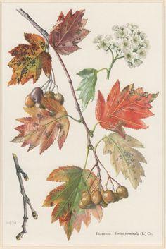 1960 Checker Tree Vintage Botanical Print Sorbus torminalis