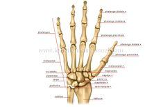 human being > anatomy > skeleton > hand image - Visual Dictionary Hand Bone Anatomy, Wrist Anatomy, Anatomy Bones, Human Body Anatomy, Anatomy Art, Os Main, Visual Dictionary, Hand Images, Hand Wrist