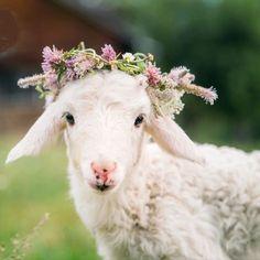 Baby Sheep, Sheep And Lamb, Ewe Sheep, Farm Animals, Animals And Pets, Cute Animals, Nature Animals, Wild Animals, Beautiful Creatures