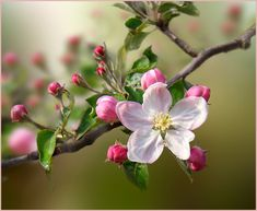(notitle) The post appeared first on Fotografie. Apple Blossom Flower, Peach Blossoms, Spring Blossom, Apple Blossoms, Amazing Flowers, Pink Flowers, Beautiful Flowers, Botanical Flowers, Flowering Trees