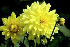 Yellow Dahlias Photograph