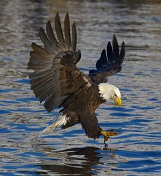 Bald Eagle by © Illini Images (Steve Patterson) via Flickr.com Types Of Eagles, Eagle Pictures, Foto Poster, Eagle Art, Eagle Wings, Barn Quilt Patterns, Animal Antics, Sunset Art, Big Bird