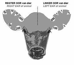 ear+notches+on+cattle   Bonsmara Ear Marks / Bonsmara Oormerke