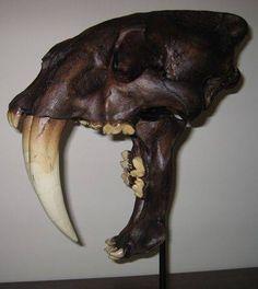 Crânio de um tigre-dente-de-sabre. Estes animais foram extintos há 10.000 anos, ou seja, eles caminharam pela terra junto com antepassados nossos. Foram extintos quando também acabaram morrendo os grandes herbívoros, que eram as presas do tigre, por causa da mudança do clima do planeta naquela época.