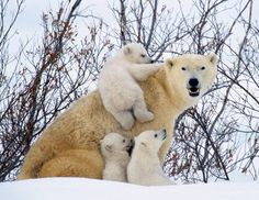 Polar bear cubs cling to their mother as they emerge from their winter den. Photographer Steve Bloom has spent hundreds of hours in Norway and Canada photographing polar bears. (Steve Bloom/Barcroft Media/Landov)