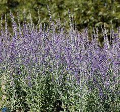 Perovskia atriplicifolia 'Little Spire' / Russisk salvie Johansens Planteskole