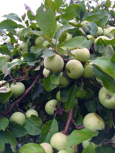 green apples in the garden