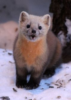 The sable (Martes zibellina) is a species of marten Pine Marten, Travelogue, Us Images, Amazing Destinations, Exotic Pets, Otters, In A Heartbeat, Animal Kingdom, Habitats