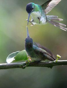 Bee Hummingbird, Hummingbird Pictures, Ruby Throated Hummingbird, Pretty Birds, Beautiful Birds, Rare Birds, Wild Nature, Small Birds, Cute Creatures