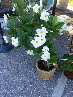 Same as the White Mandavilla,   - beautiful white flowering vine, that we saw in pots at the Twisted Olive.