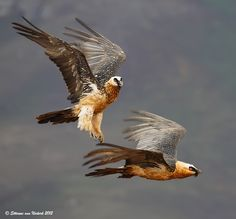 The Bearded Vulture (Gypaetus barbatus), also known as the Lammergeier or Lammergeyer, is a bird of prey, and the only member of the genus Gypaetus. Traditionally considered an Old World vulture, it actually forms a minor lineage of Accipitridae together with the Egyptian Vulture (Neophron percnopterus), its closest living relative.