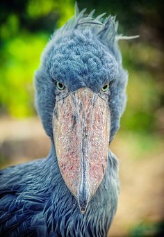 Shoebill stork Native to the freshwater swamps of tropical east Africa, these large, cartoon-like avians are known for their uniquely bulbou...