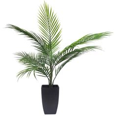 Potted Areca Palm