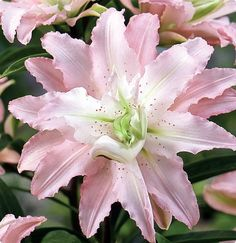 Soft Music Double Oriental Lily 2 Bulbs 16/18 cm - Pastel Pink - $8.99