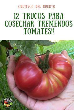 puedes alcanzar mejores rendimientos si podas tus tomates