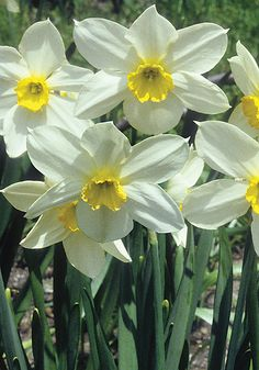 White Lady ~ 1897 heirloom daffodil