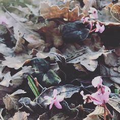 #cyclamencoum#garden#winter#lepavillondelorangerie#aureliegueniffey