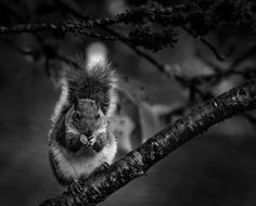 Grey squirrell by Jean-Jacques Thebault on 500px