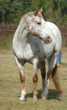 new appaloosa HORSES - Google Search