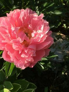 Coral Charm Peony, Flower Power, Rose, Flowers, Plants, Gardening, Thoughts, Backgrounds, Pink