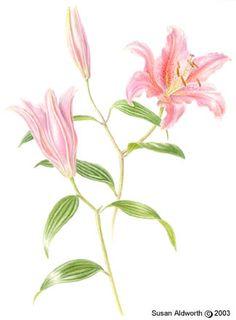 Oriental lily 'Acapulco