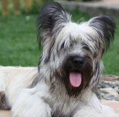 Skye terrier Skye Terrier, Terrier Breeds, Dog Breeds, Beautiful Creatures, Animals Beautiful, Tibetan Terrier, Animal Decor, Dog Boarding, Labradoodle