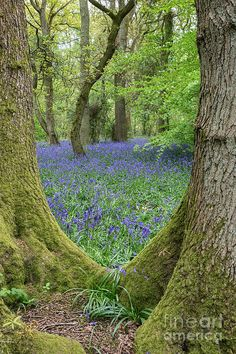 Shop Beautiful English Bluebell Wood Canvas Print created by MarkMonckton. Personalize it with photos & text or purchase as is! Woodland Flowers, Woodland Garden, Blue Bell Woods, English Bluebells, Walk In The Woods, Garden In The Woods, Fantasy Landscape, Flower Landscape, Nature Pictures