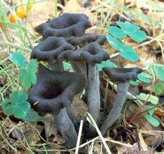 grosse bite champignon