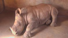 A Little Baby Rhino at the Baby Rhino cam. - May 16 2016 - Baby Rhino, Hippopotamus, Little Babies, Wildlife, African, Animals, Animales, Animaux, Baby Hippo