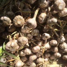 Fresh Rocambole garlic @cuesa :: Search by flavors, find similar varieties and discover new uses for ingredients @ preppings.com