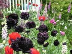 Black Peony Poppy Papaver Somniferum Paeoniflorum 'Black Paeony' - More delightful than I can describe! With the foxglove, red oriental poppy, and tulips, I'm in love!