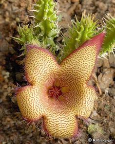Stapelia gettliffei x Tavaresia barklyi hybrid flower   Flickr - Photo Sharing!