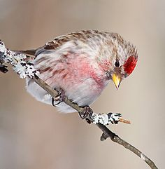 Common Redpoll by Helena Garcia, Quebec