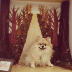 @Mie_Ponkichi : 秋から冬へ  #pomeranianlove #pomeranian #poco #pom #lovelydog 場所: カフェ むすびCafe musubihttps://t.co/fjN5gDjiqH