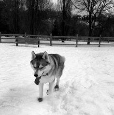 Let it snow, let it snow, let it snow - Earl Bales Dog Park - Toronto, ON - Angus Off-Leash #dogs #puppies #cutedogs #bigdogs #angusoffleash #toronto #ontario #angusoffleash